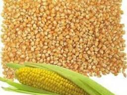 Ячмень, Кукуруза